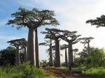 Baobab de Madagascar, Adansonia grandidieri