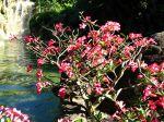 Rose du d�sert, Faux baobab, Adenium obesum
