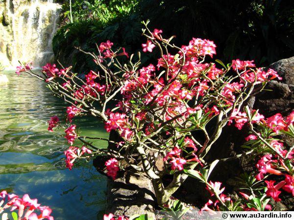 Rose du désert, Faux baobab, Adenium obesum