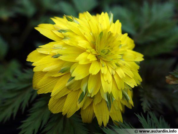 Adonis de l'amour, Adonide de l'Amour, Adonis amurensis aux fleurs très doubles