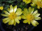 Adonis de printemps, Adonide de printemps, Adonis vernalis