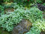 L'herbe aux goutteux, Aegopodium podagraria