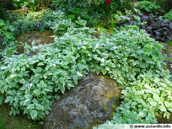 Herbe aux goutteux, Egopode, Aegopodium podagraria