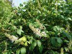 Pavier blanc, Marronnier nain, Aesculus parviflora