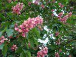 Marronnier rose, marronnier rouge, Aesculus x carnea