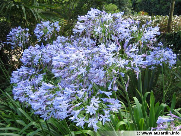 Un massif d'agapanthes bleues