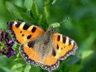 Les orties et les papillons