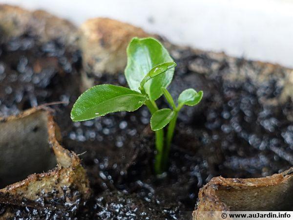 Semis d'agrumes dans une boite à oeufs, le rempotage sera plus facile