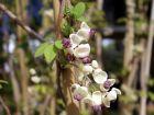 Akébie à 5 feuilles, Liane chocolat, Akebia quinata
