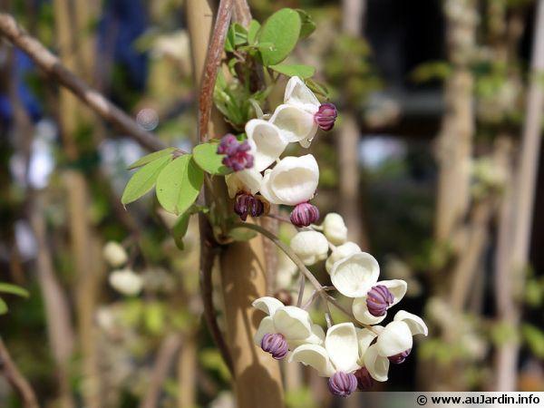 ak u00e9bie  u00e0 5 feuilles  liane chocolat  akebia quinata   cultiver