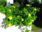 Allamanda jaune, Liane à lait, Trompette d'or, Allamanda cathartica