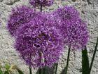 Ail d'Aflatun, Allium aflatunense