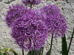 Ail d'ornement, Ail d'Aflatun, Allium aflatunense