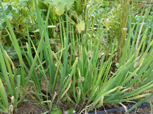 oignon patate planter cultiver r colter. Black Bedroom Furniture Sets. Home Design Ideas