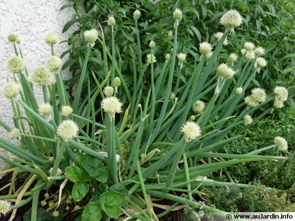 Ciboule, Ail fistuleux, Allium fistulosum