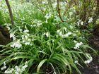 Ail paradoxal, Allium paradoxum