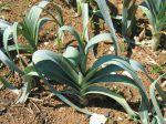Poireau, Allium porrum