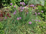 Ciboulette, Allium schoenoprasum
