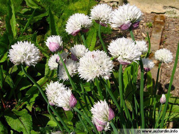 La ciboulette, Allium schoenoprasum 'Forecaste' aux fleurs roses pourpres