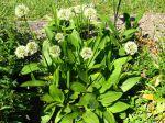 Ail serpentin, Ail de cerf, Ail de la Sainte-Victoire, Allium victorialis