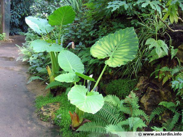 Oreille d 39 l phant alocasie grandes racines taro g ant for Alocasia d interieur