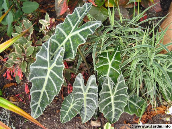Oreille d 39 l phant alocasia sanderiana conseils de culture for Alocasia d interieur