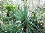 Aloès à feuilles rougissantes, Aloe erythrophylla