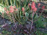 Aloès savon, Aloé maculé, Aloe maculata