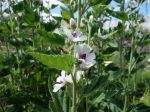 Guimauve, Mauve officinale, Althaea officinalis