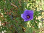 Hibiscus bleu d'Australie, Alyogyne huegelii 'Santa Cruz'