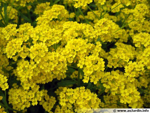Corbeille d'or, Alyssum saxatile