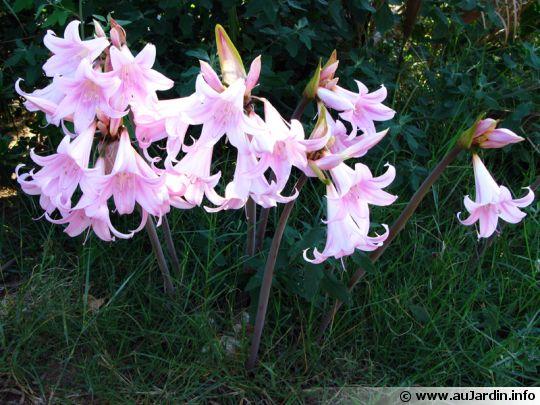 Amaryllis belladone amaryllis belladona for Amaryllis jardin