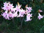 Lis belladonne, Amaryllis belladonna