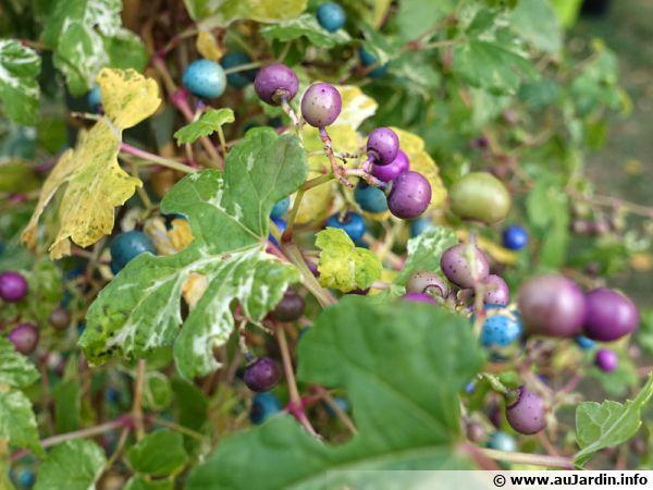 Vigne vierge de Delavay, Vigne vierge trifide, Ampelopsis delavayana