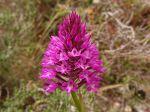 Orchis pyramidal de Malte (Anacamptis pyramidalis var. urvilleana), une orchidée endémique avec des fleurs plus petites et plus pâles fleurissant 4 à 6 semaines avant Anacamptis pyramidalis