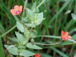Mouron rouge, Mouron des champs, Anagallis arvensis
