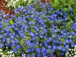 Mouron de Monnellus, Mouron de monel, Anagallis bleu, Mouron bleu, Lysimachia monellii
