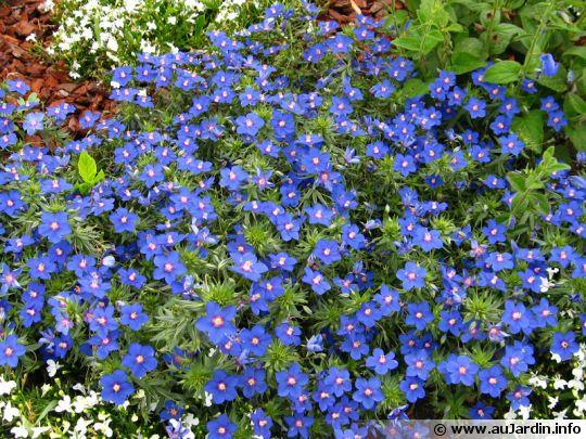 mouron de monnellus mouron de monel anagallis bleu mouron bleu lysimachia monellii. Black Bedroom Furniture Sets. Home Design Ideas