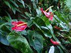 Langue de feu, Anthurium andreanum