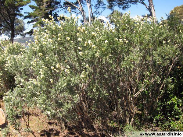 Anthyllide barbe de Jupiter, Arbuste d'argent, Anthyllis barba-jovis