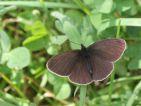Tristan (Aphantopus hyperanthus)