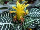 Plante zèbre, Aphelandra squarrosa 'Dania'