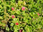 Apténie cordée, Ficoïde à feuilles en cœur, Aptenia cordifolia