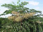 Angélique en arbre du Japon, Aralie japonaise, Aralia elata