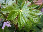 Faux-ricin, Aralia du Japon, Fatsia japonica