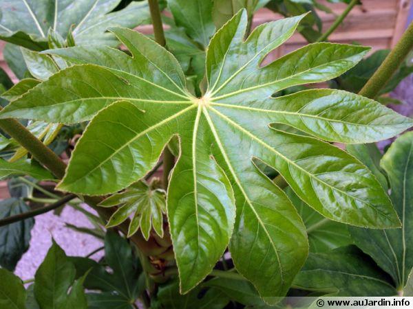 Faux ricin aralia du japon fatsia japonica planter for Plante japonaise