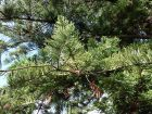 Pin de Norfolk, Araucaria de Norfolk, Araucaria heterophylla