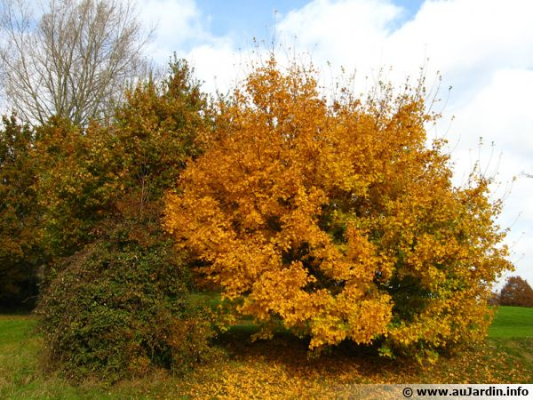 L'automne venu, les arbres au feuillage caduque perdent leurs feuilles qui peuvent être recyclées dans le compost