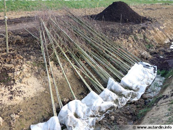 Arbres placés en jauge avant plantation