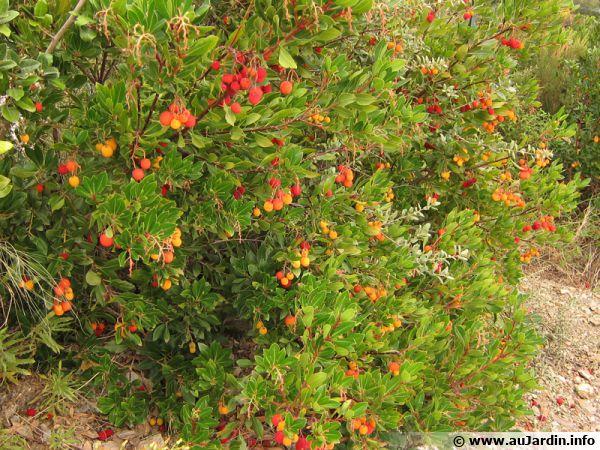 L'arbousier, un arbuste parfaitement adapté aux terrains secs et à la sécheresse